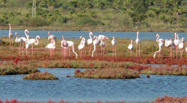 Flamingolar bu sene erken geldi
