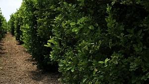 Poyraz nedeniyle narenciye ağaçlarındaki meyveler döküldü, fiyatlar bu yıl cep yakacak.